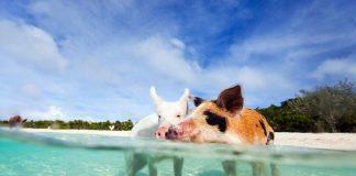 острво свиња на бахамима