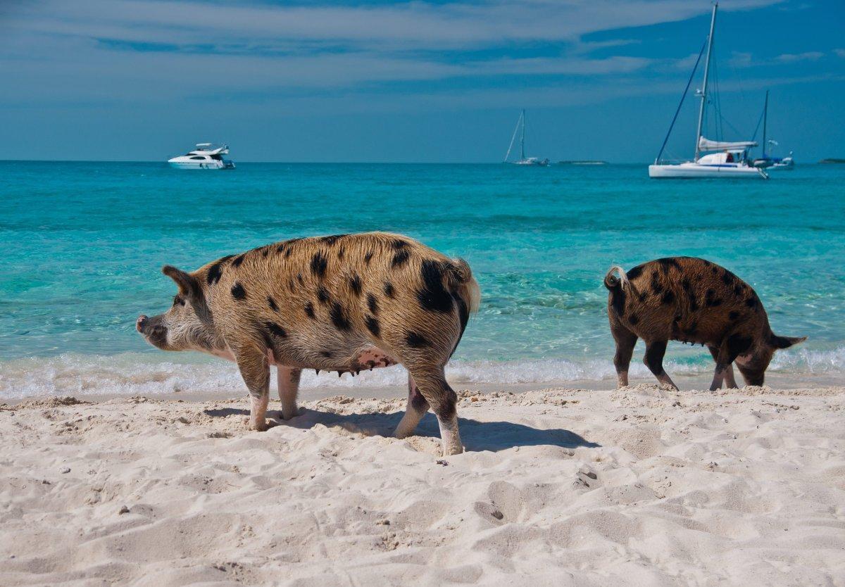 помор свиња