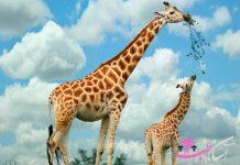 жирафе