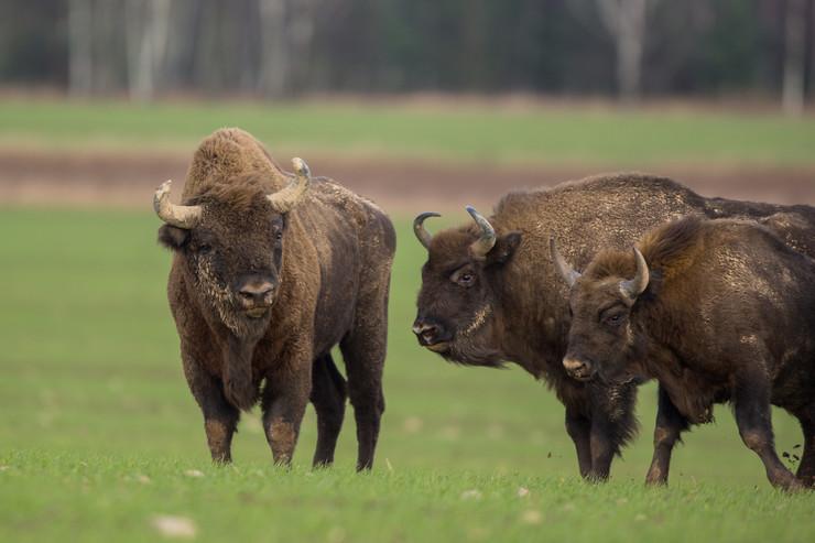 бизони