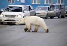 поларни медвед