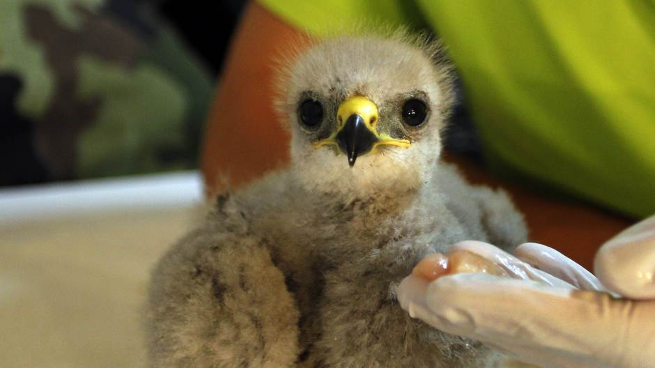 младунче орла