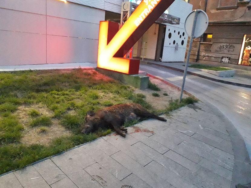 крдо дивљих свиња