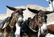 магарци на санторинију